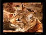 Lynx Closeup