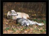 Resting Gray Wolves
