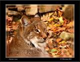 Autumn Lynx
