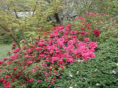 Rosy Frills