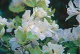 kaempferi var. albiflorum