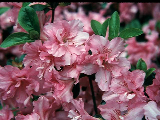 Chessies Pink