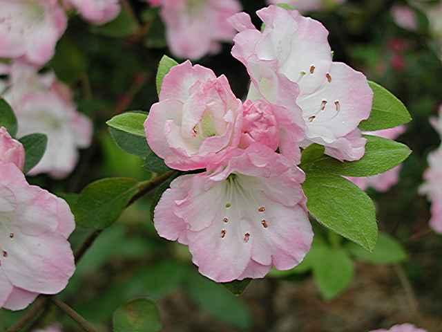 Springtime Blush