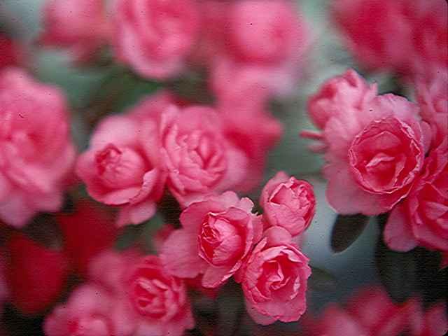 Williamsburg Rose Bouquet
