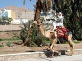 Camel and rider in Aqaba