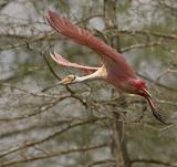 Roseate Spoonbill Flight.jpg