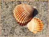 shell.2.jpg