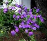 Brunfelsia  pauciflora.jpg