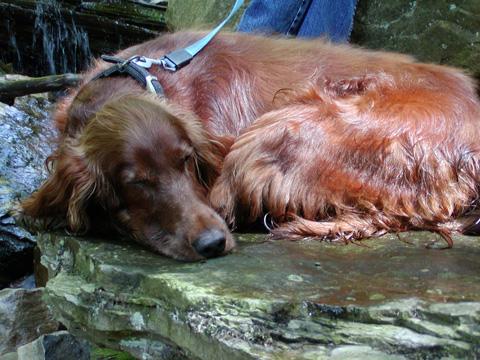 Kuba sleeps Lye Brook trail, Vermont