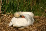 Breeding Mute Swan