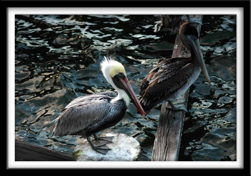 His and Her Brown Pelicans