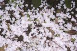 Fallen Cherry Blossom Pedals