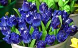 Wooden tulips, Amsterdam