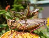 Two-striped grasshopper - Melanoplus bivittatus - pair