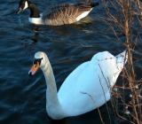 Swan 05