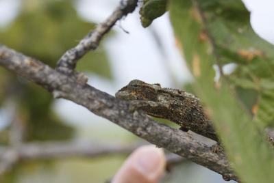 Brown-striped chameleon