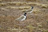 Black-headed plover