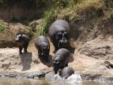 All sizes of hippos