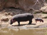 Hippo mini me