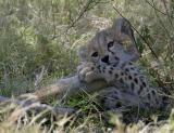 The cheetah cub lost interest and decided to gnaw on a branch