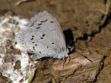 WV ~ Butterflies - Gossamer-wing Family
