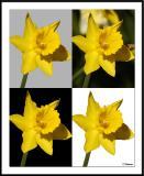 4/11/05 - Four Daffodils4 Daffodils_wF.jpg