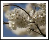4/7/05 - Dogwood Blossomsds20050410_0168awF Dogwood.jpg