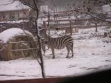 Zebras in the snow Dec 2004.JPG