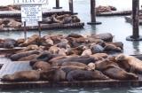 Sea Lions Pier 39 - San Francisco.jpg
