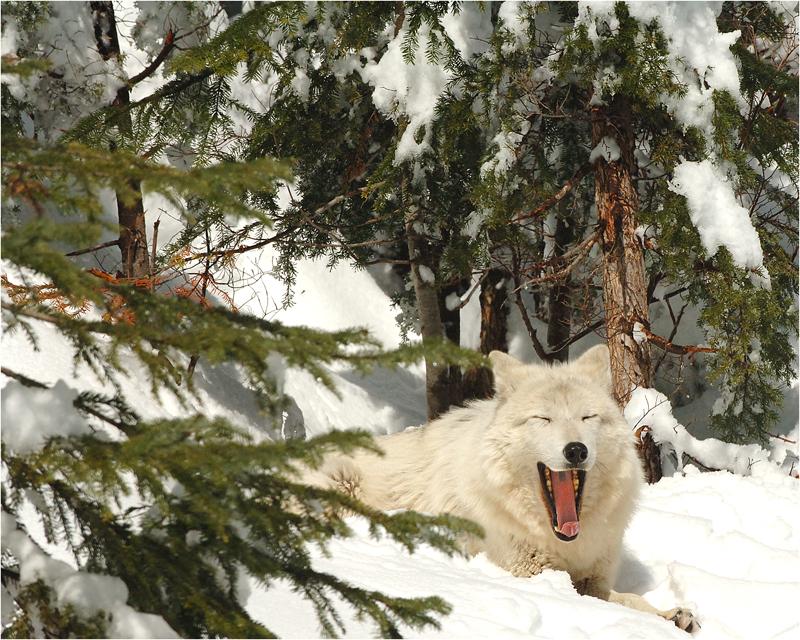 Blonde Wolf (2)