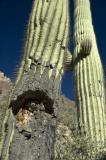 Two Cacti One Rotting