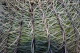 Barrel Cactus Spines