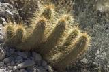 Group of Mini Cacti