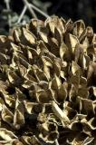 Century Plants Shells