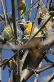 Bullock's Oriole in Nest of String