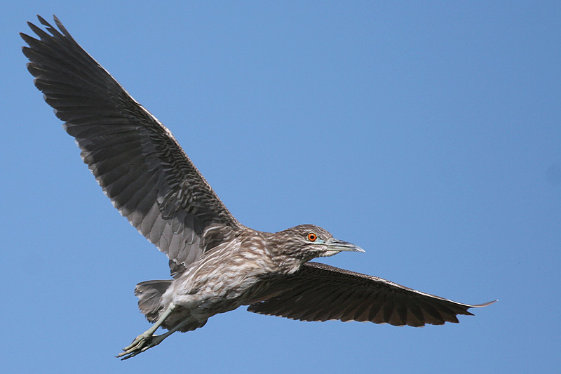 Young (1st Spring) Black-Crowned Night Heron in Flight