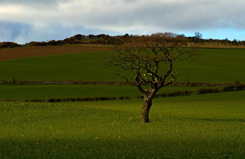 Tree in field near Newbigging.