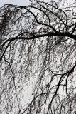 Cherry Tree Branches WSVG