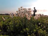 Narcisses field at glilot
