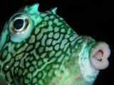 honeycomb cowfish