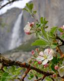 Spring Blossom, Yosemite Falls