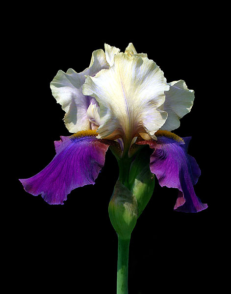 Bi-Colored Bearded Iris