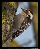 Lesser Spotted Woodpecker, Silvåkra