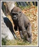 Baby Gorilla - IMG_1002.jpg