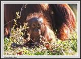 Baby Orangutan - IMG_1059.jpg