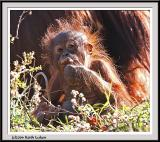 Baby Orangutan - IMG_1061.jpg