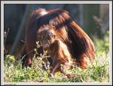 Baby Orangutan - IMG_1064.jpg