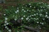 Cherokee Roses