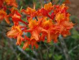 Azaleas, Native