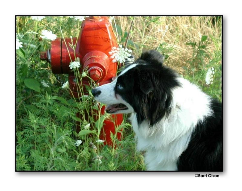 Lucky (Border Collie) and the Hydrant